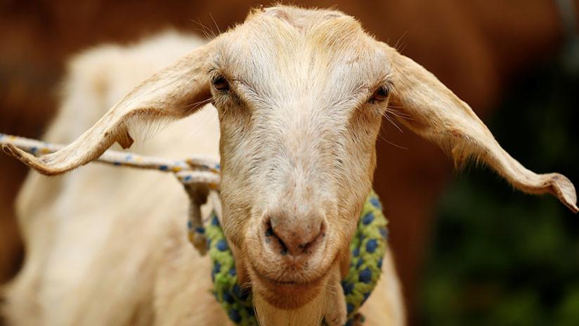 ¡Increíble! Una cabra pronostica qué selección ganará el Mundial de Rusia 2018