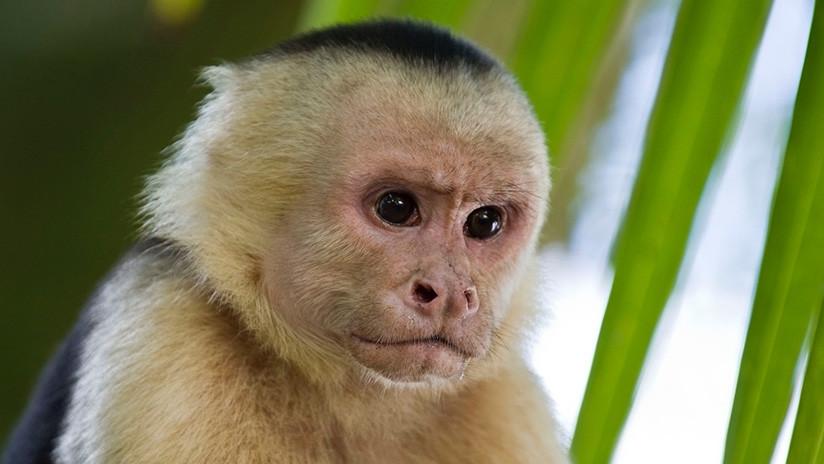 Monos panameños