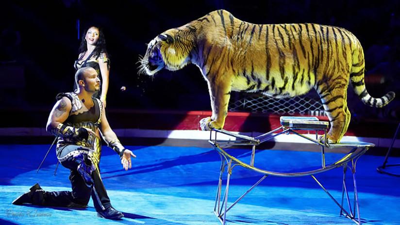Una tigresa sufre un ataque en medio de un acto de circo