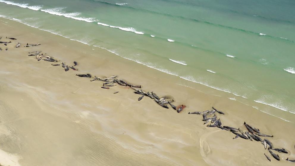 Mueren 145 ballenas piloto en una playa remota de Nueva Zelanda - Diario