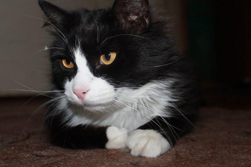 Este gato sorprende a las redes con sus cánticos georgianos
